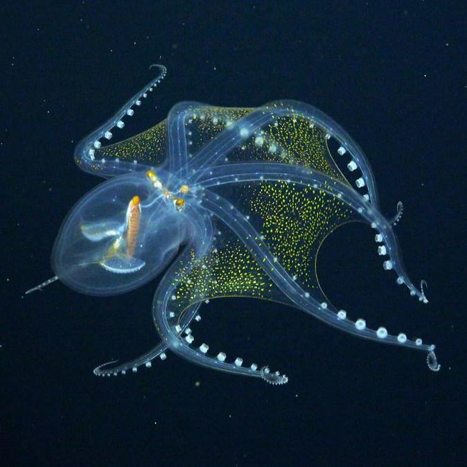 fk210605-20210703-glass-octopus-3